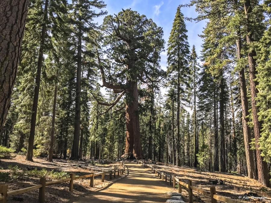 Путешествие в страну великанов: 500 секвой рощи Марипоса в Йосемити