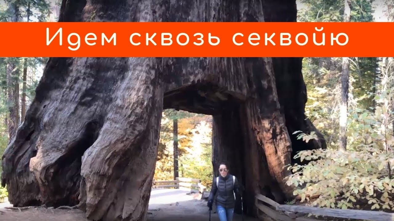 Секвойи в Йосемити: малоизвестная роща Туолэми (Tuolumne Grove)